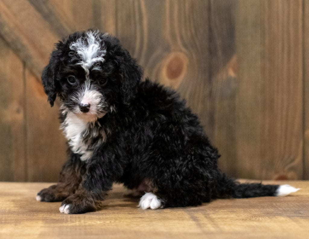 Quin is an F1 Bernedoodle that should have  and is currently living in New York