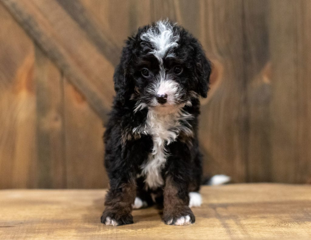A picture of a Quin, one of our Mini Bernedoodles puppies that went to their home in New York