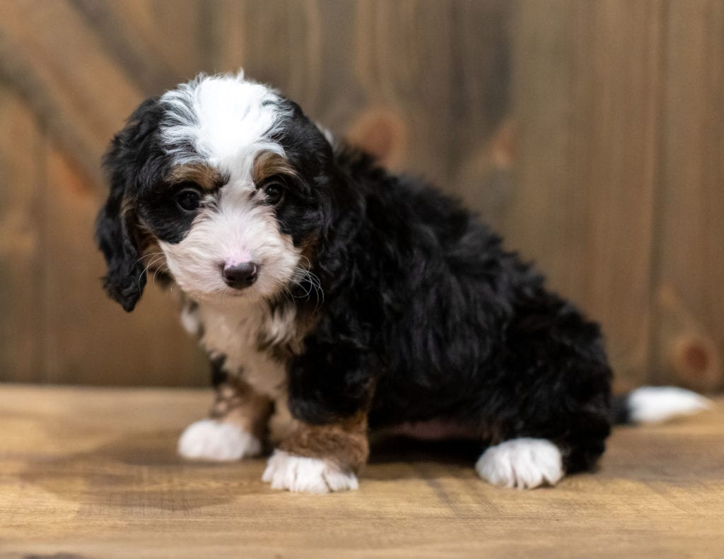 Quincey is an F1 Bernedoodle that should have  and is currently living in Georgia