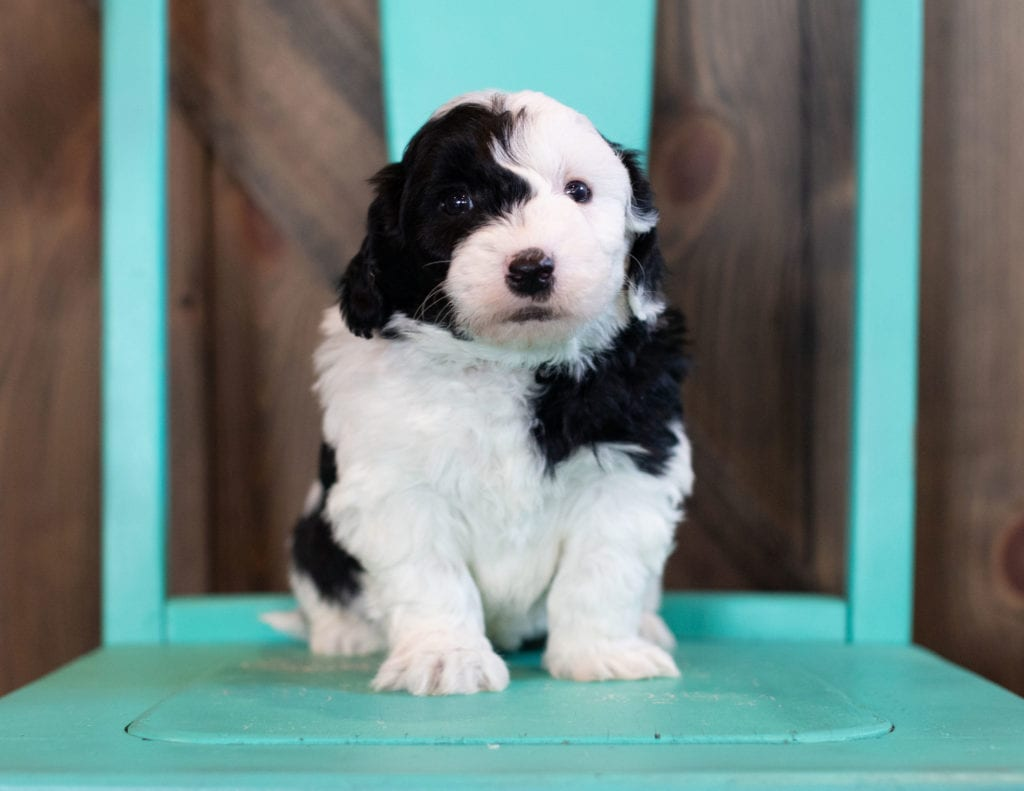 """Ohio is an F1 Sheepadoodle that will be hypoallergenic. Read more about what a dog being hypoallergenic means on our latest blog post, """"The New Breed Everyone Seems to Want"""""""