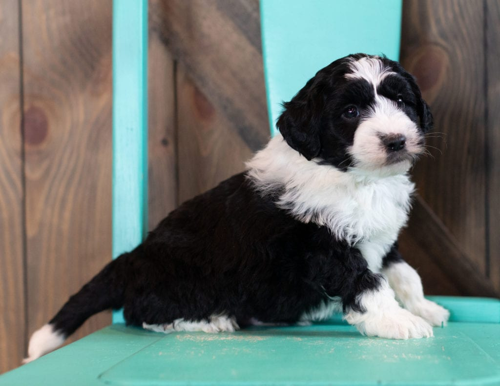 Olsen came from Tuxxy and River's litter of F1 Sheepadoodles