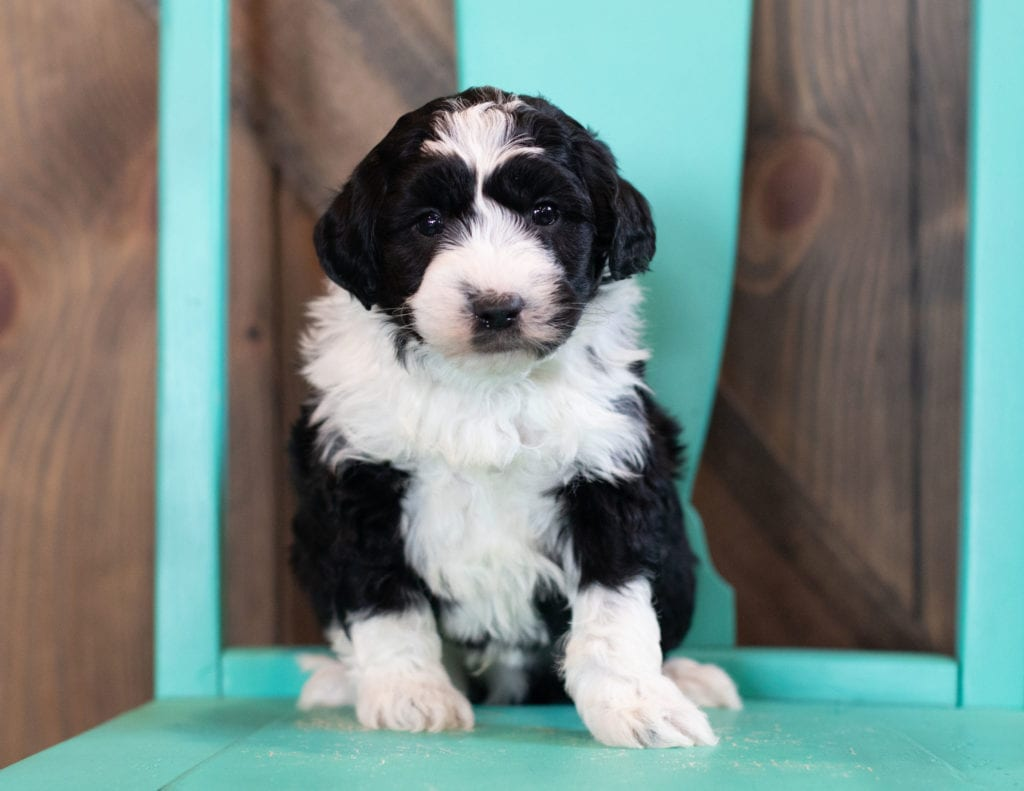 A picture of a Olsen, one of our Mini Sheepadoodles puppies