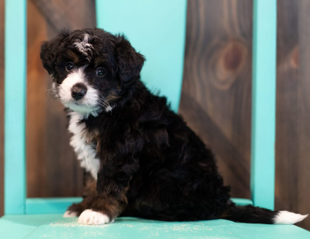 Quigley came from Willow and Grimm's litter of F1 Bernedoodles