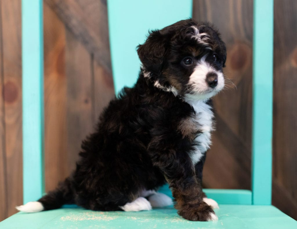 "Quigley is an F1 Bernedoodle that will be hypoallergenic. Read more about what a dog being hypoallergenic means on our latest blog post, ""The New Breed Everyone Seems to Want"""