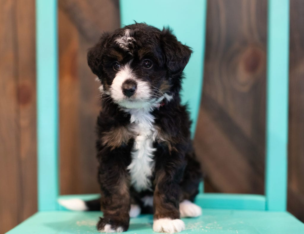 A picture of a Quigley, one of our Mini Bernedoodles puppies