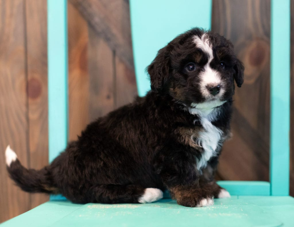 "Quade is an F1 Bernedoodle that will be hypoallergenic. Read more about what a dog being hypoallergenic means on our latest blog post, ""The New Breed Everyone Seems to Want"""