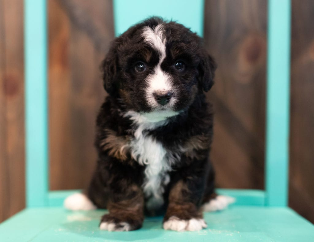 A picture of a Quade, one of our Mini Bernedoodles puppies