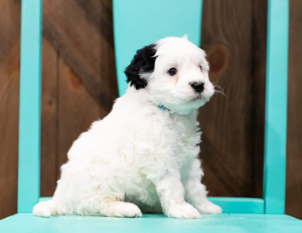 "Roxy is an F1B Sheepadoodle that will be hypoallergenic. Read more about what a dog being hypoallergenic means on our latest blog post, ""The New Breed Everyone Seems to Want"""