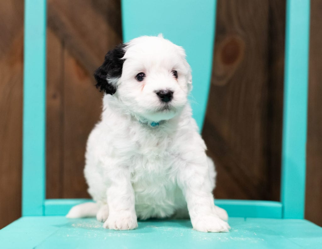 A picture of a Roxy, one of our Petite Sheepadoodles puppies