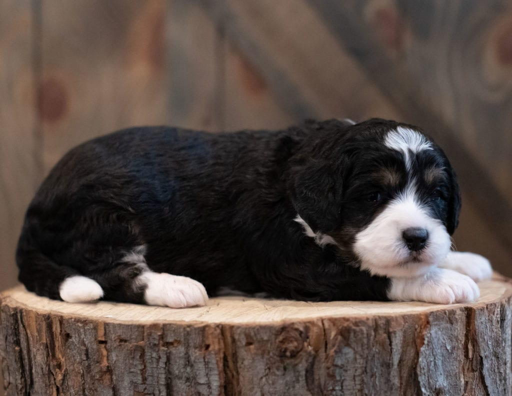 """Sky is an F1 Bernedoodle that will be hypoallergenic. Read more about what a dog being hypoallergenic means on our latest blog post, """"The New Breed Everyone Seems to Want"""""""
