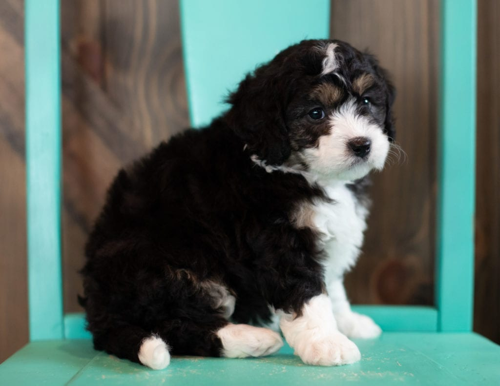 "Sky is an F1 Bernedoodle that will be hypoallergenic. Read more about what a dog being hypoallergenic means on our latest blog post, ""The New Breed Everyone Seems to Want"""