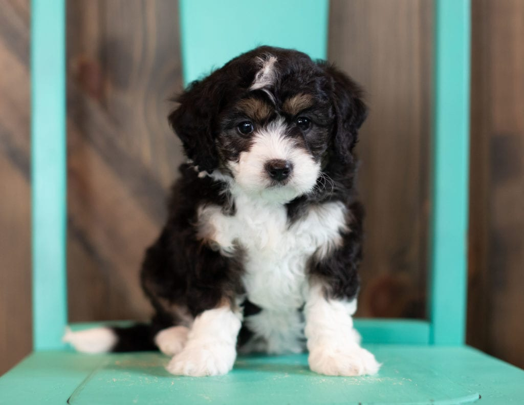 A picture of a Sky, one of our Mini Bernedoodles puppies