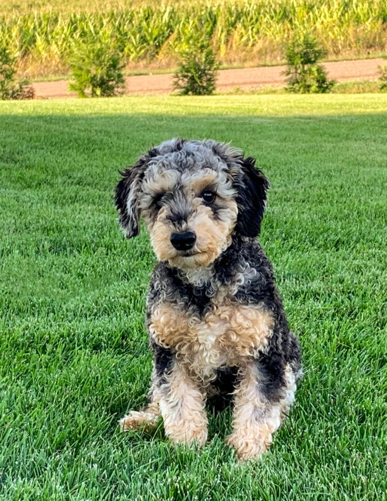 Ozzy is an  Poodle and a father here at Poodles 2 Doodles, Sheepadoodle and Bernedoodle breeder from Iowa