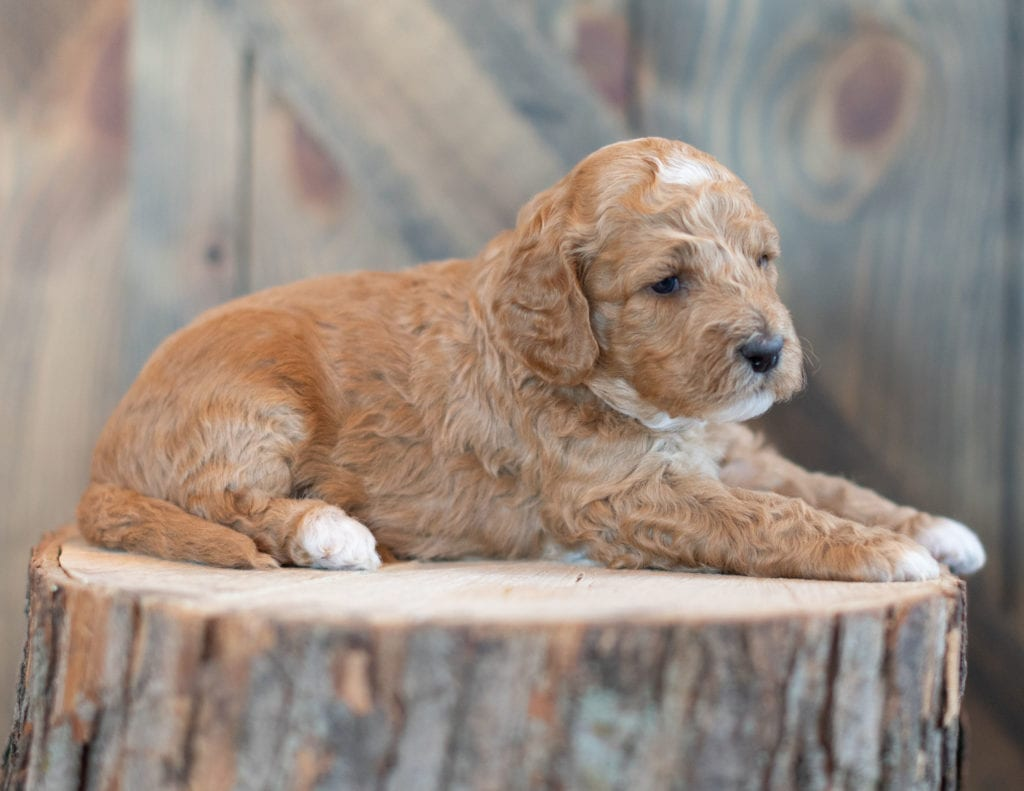 "Wendy is an F1BB Goldendoodle that will be hypoallergenic. Read more about what a dog being hypoallergenic means on our latest blog post, ""The New Breed Everyone Seems to Want"""