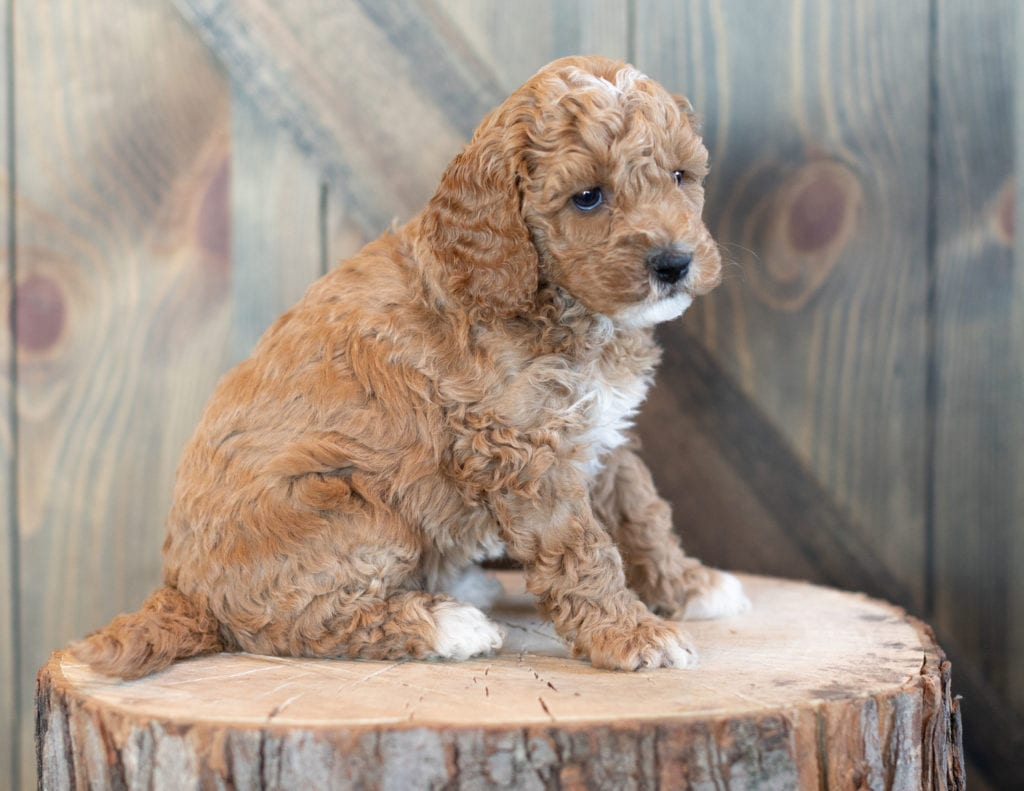 Wendy came from Candice and Teddy's litter of F1BB Goldendoodles