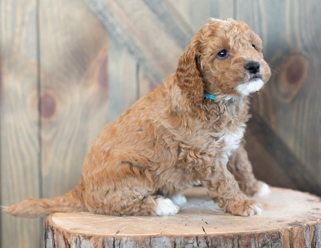 Wendy is an F1BB Goldendoodle that should have  and is currently living in Wisconsin