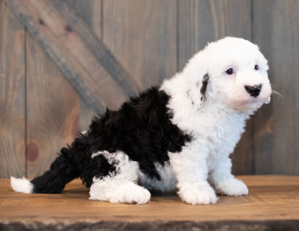 Unger is an F1 Sheepadoodle that should have  and is currently living in California