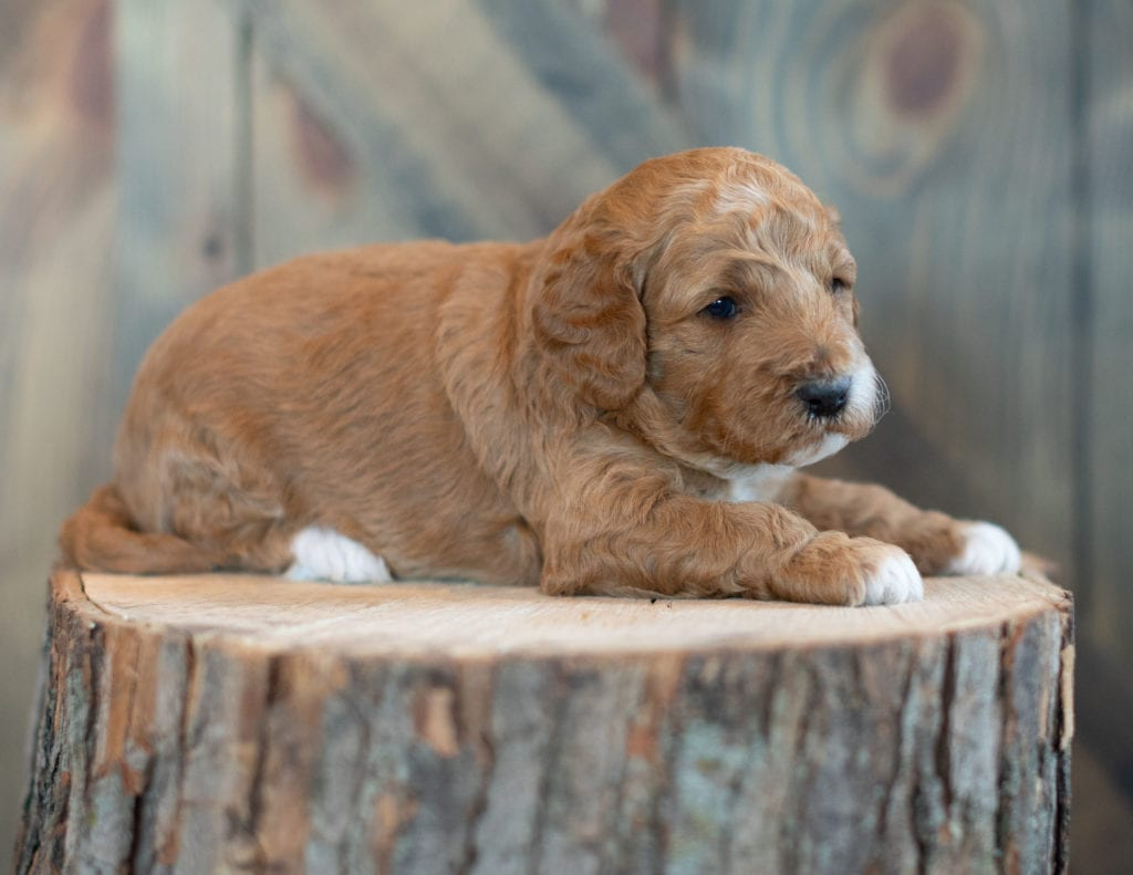 "Wesley is an F1BB Goldendoodle that will be hypoallergenic. Read more about what a dog being hypoallergenic means on our latest blog post, ""The New Breed Everyone Seems to Want"""