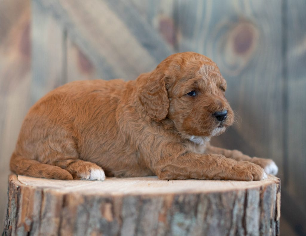 Wilson came from Candice and Teddy's litter of F1BB Goldendoodles