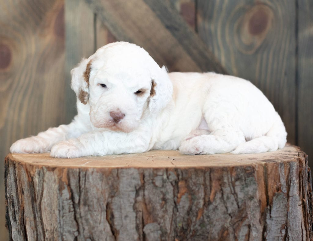 "Xantus is an F1B Goldendoodle that will be hypoallergenic. Read more about what a dog being hypoallergenic means on our latest blog post, ""The New Breed Everyone Seems to Want"""