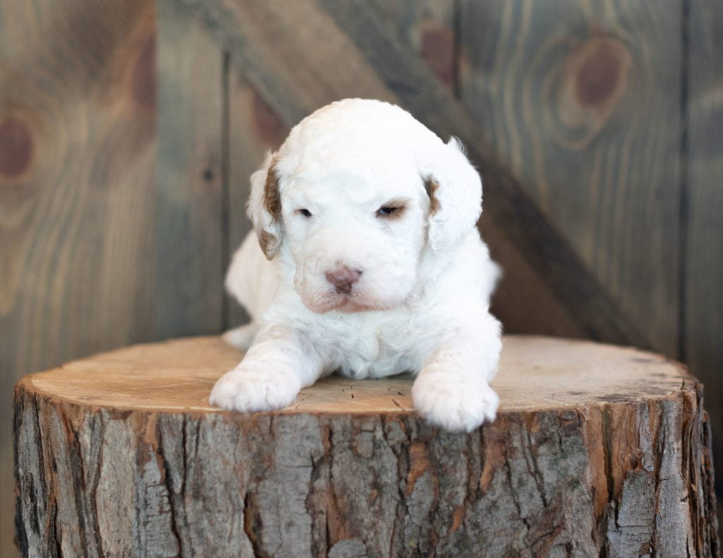 A picture of a Xantus, one of our Mini Goldendoodles puppies