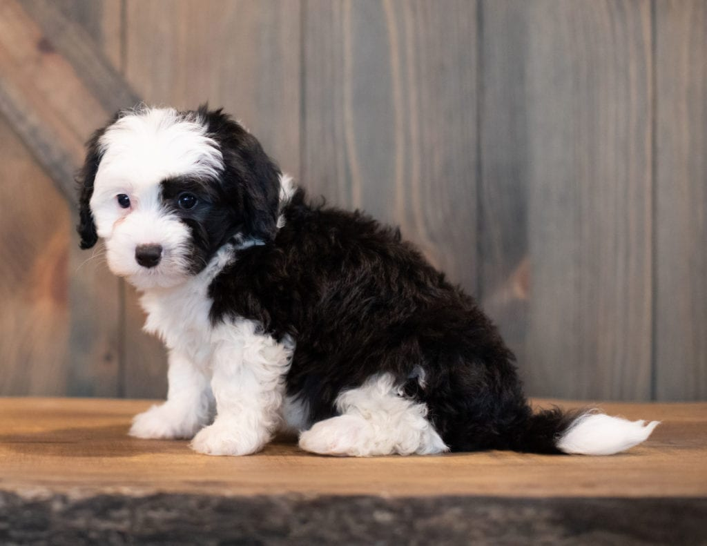 Unity is an F1 Sheepadoodle that should have  and is currently living in Massachusetts