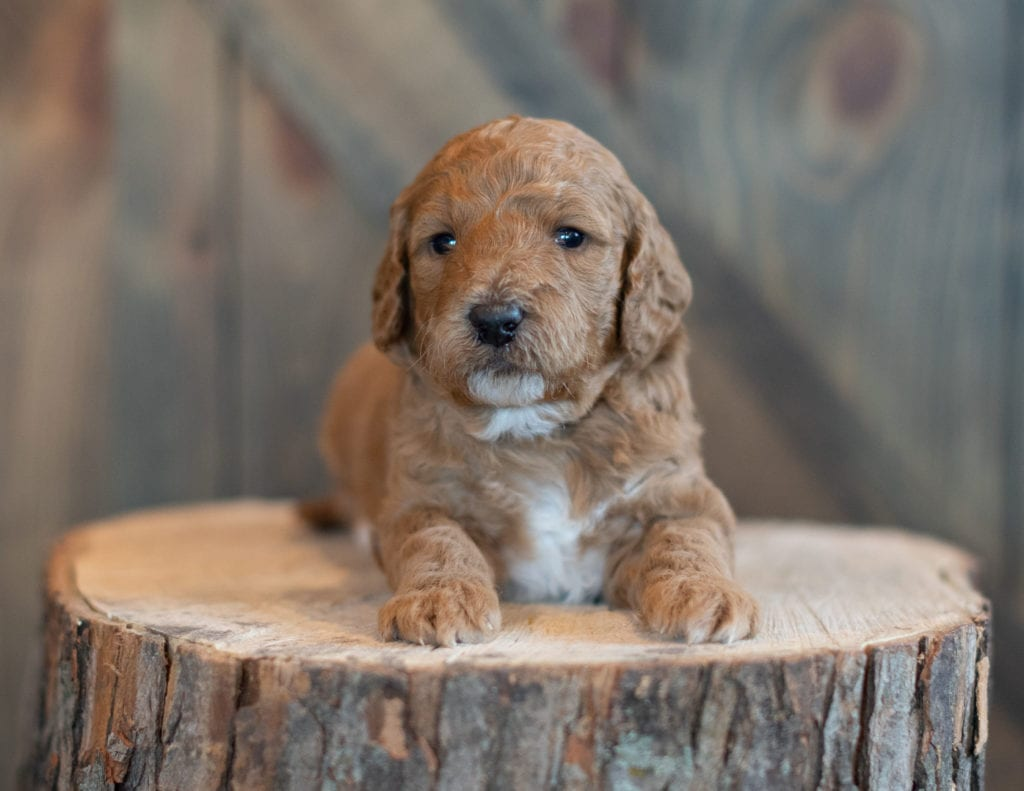 A picture of a Walker, one of our Mini Goldendoodles puppies
