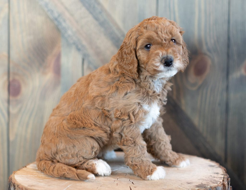 Wilma is an F1BB Goldendoodle that should have  and is currently living in Maryland