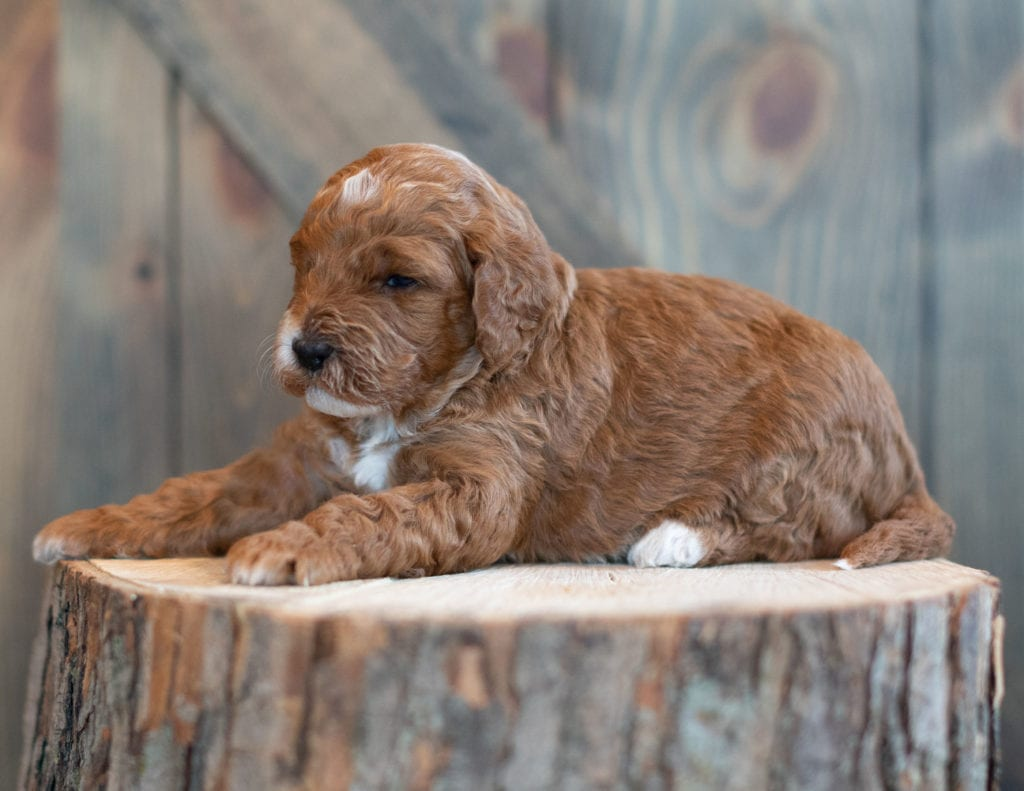 "Wink is an F1BB Goldendoodle that will be hypoallergenic. Read more about what a dog being hypoallergenic means on our latest blog post, ""The New Breed Everyone Seems to Want"""