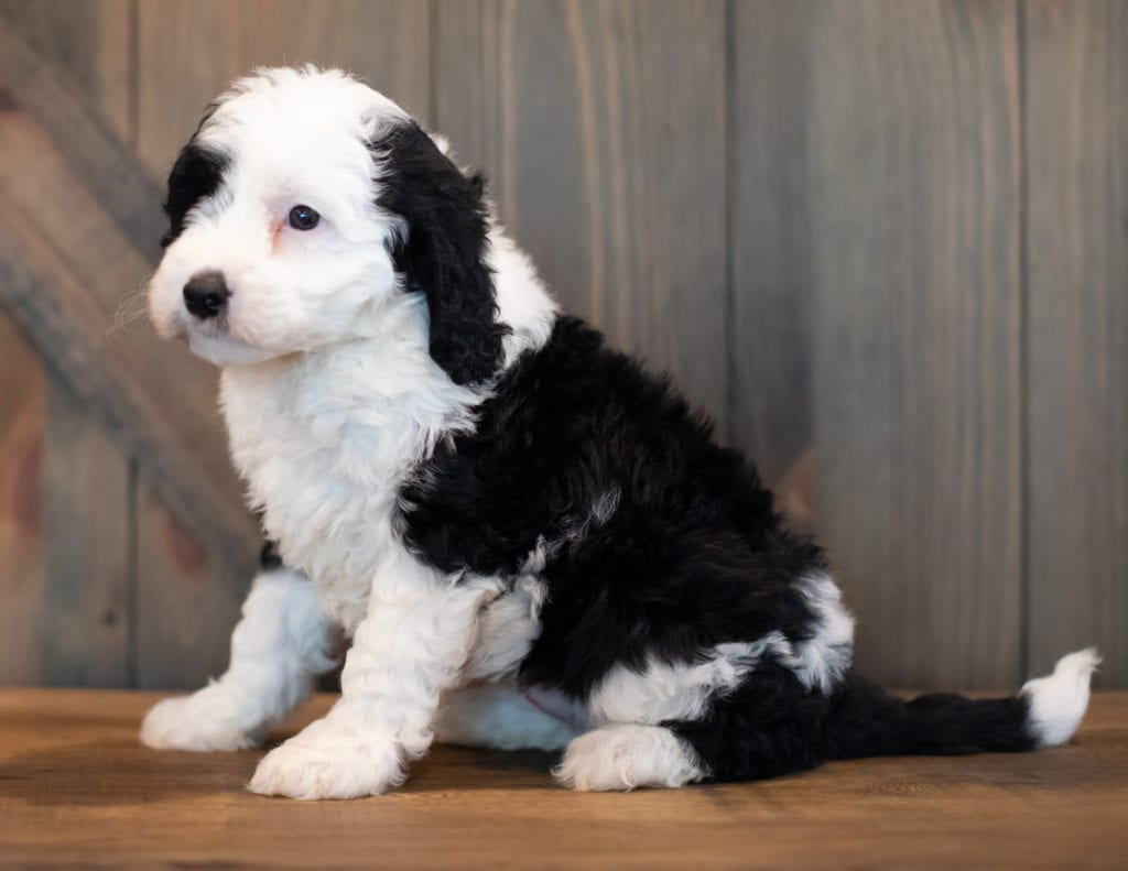 Ursa came from Piper and Stanley's litter of F1 Sheepadoodles