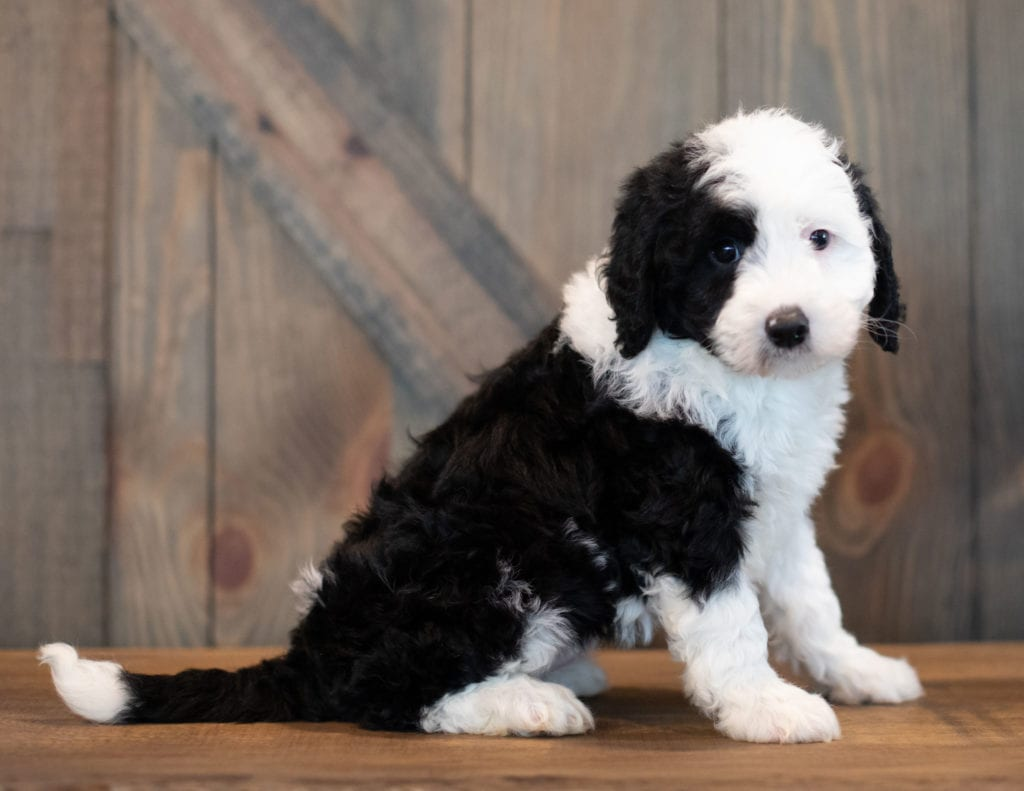 Ursa is an F1 Sheepadoodle that should have  and is currently living in Illinois