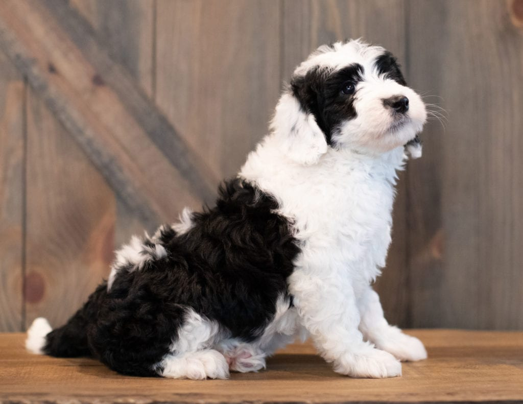 Uma is an F1 Sheepadoodle that should have  and is currently living in Indiana