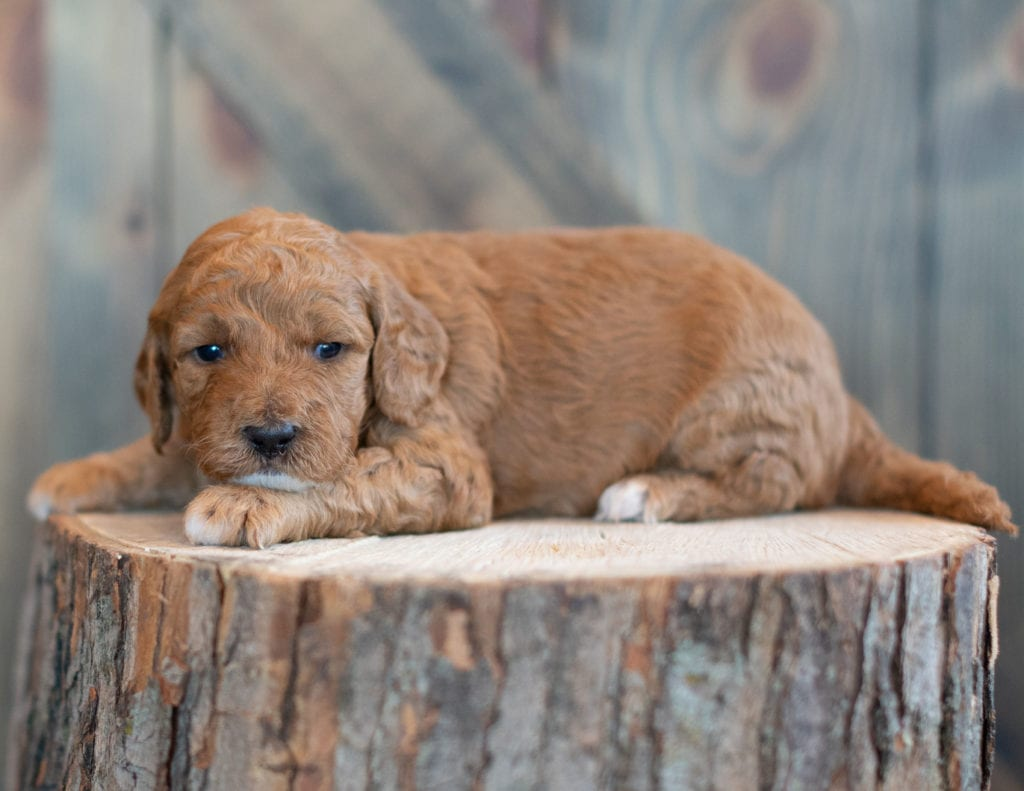 A picture of a Winter, one of our Mini Goldendoodles puppies
