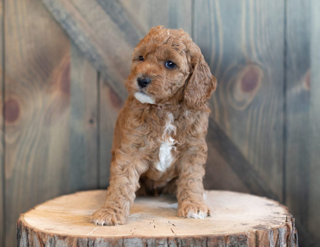 Another great picture of Winter, a Goldendoodles puppy