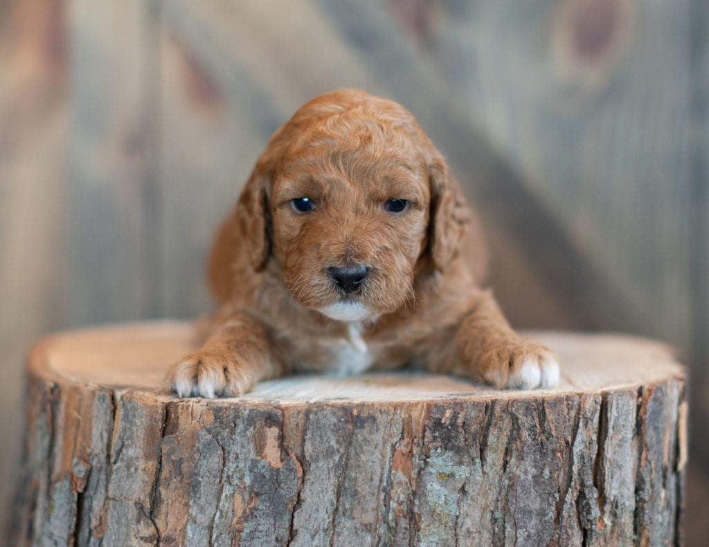 Winter came from Candice and Teddy's litter of F1BB Goldendoodles