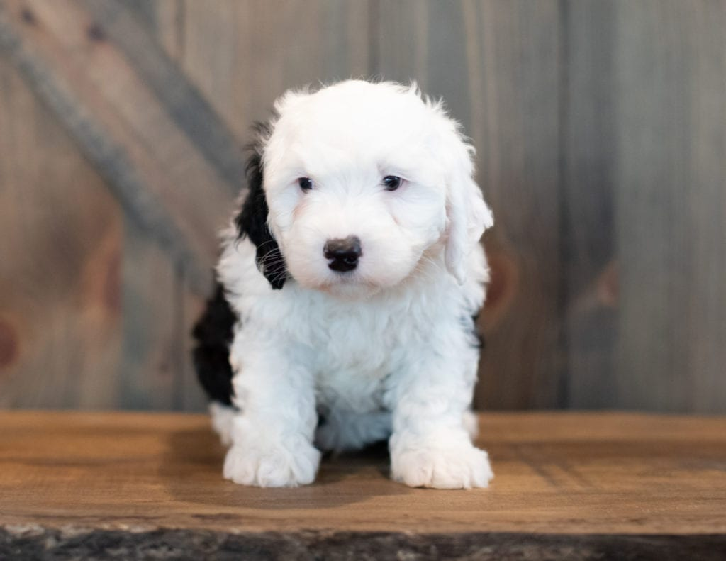 Ushi is an F1 Sheepadoodle that should have  and is currently living in Missouri