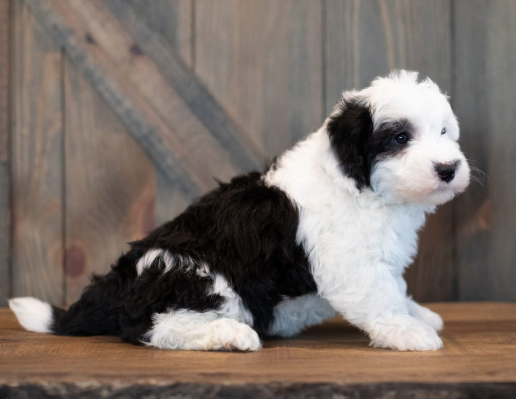 Urbane is an F1 Sheepadoodle that should have  and is currently living in California