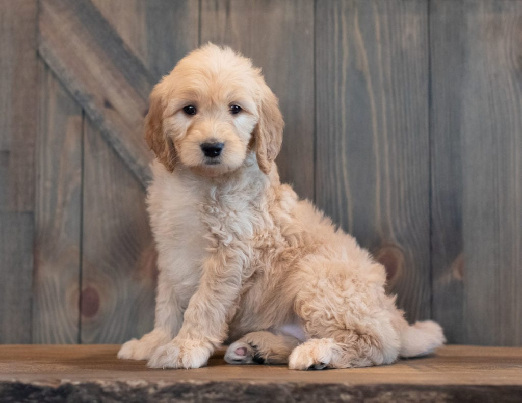 Tabby is an F1 Goldendoodle that should have  and is currently living in Colorado