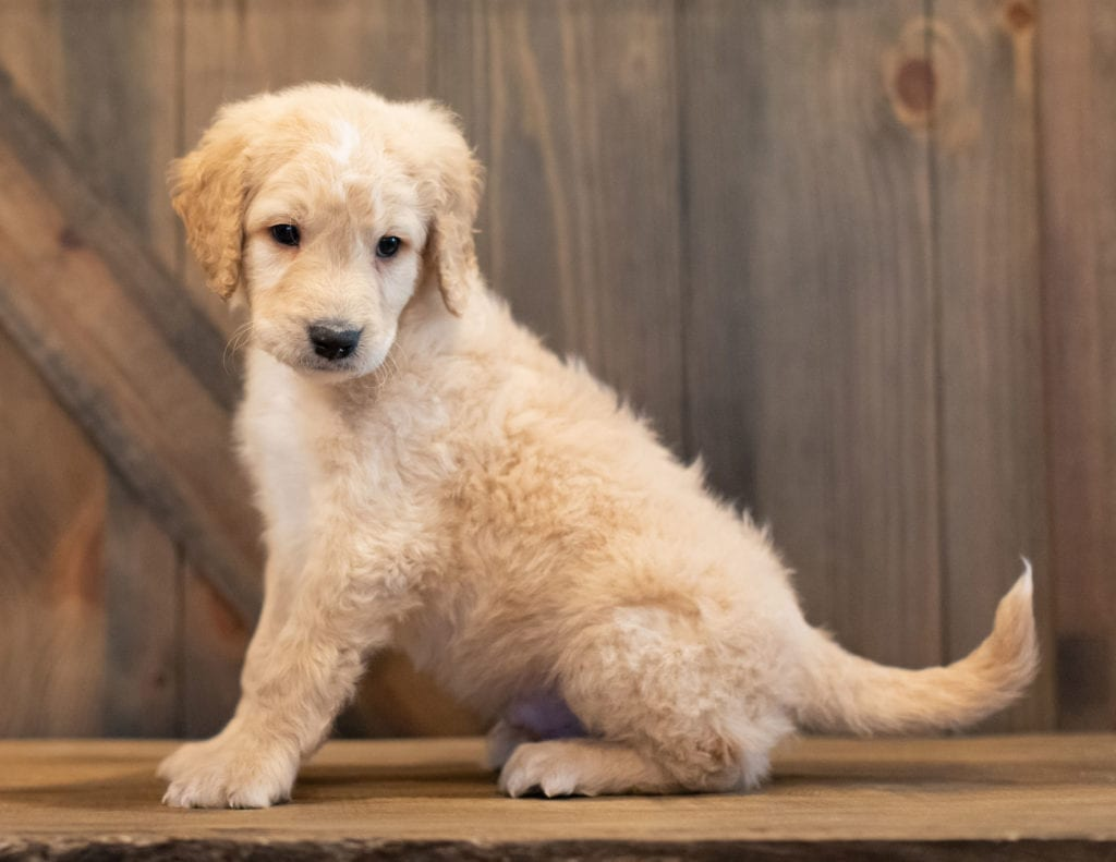 Tag is an F1 Goldendoodle that should have  and is currently living in Nebraska