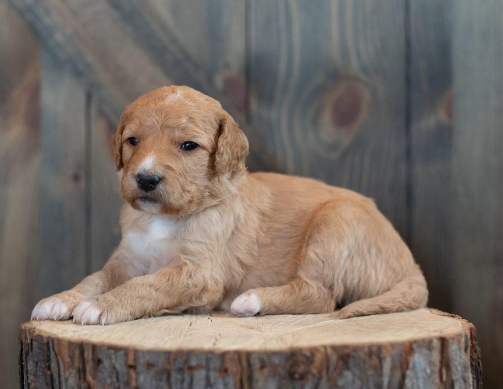 A picture of a Tasha, one of our Mini Goldendoodles puppies that went to their home in Pennsylvania