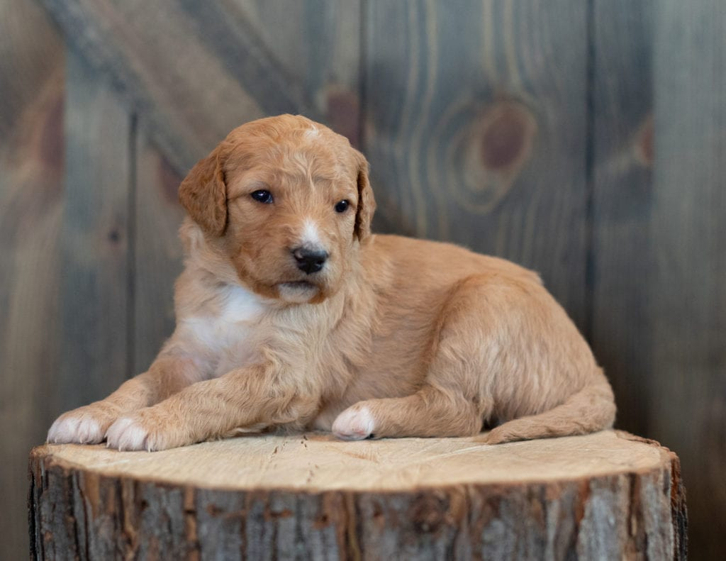 Tasha is an F1 Goldendoodle that should have  and is currently living in Pennsylvania