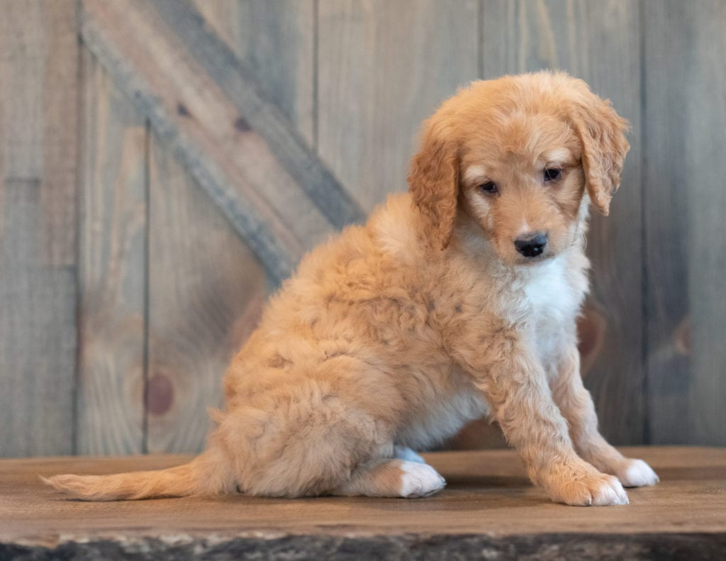 "Tasha is an F1 Goldendoodle that will be hypoallergenic. Read more about what a dog being hypoallergenic means on our latest blog post, ""The New Breed Everyone Seems to Want"""