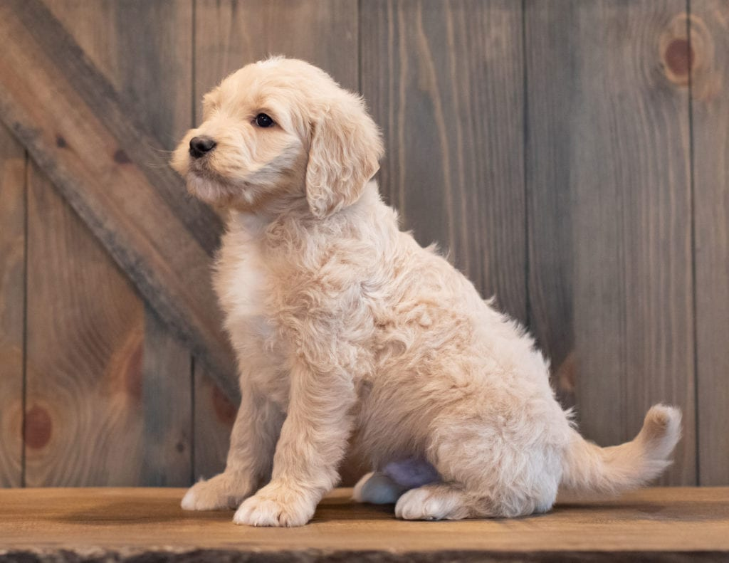 Ted came from Sassy and Scout's litter of F1 Goldendoodles