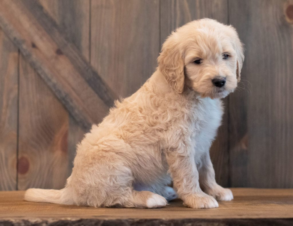 A picture of a Ted, one of our Mini Goldendoodles puppies that went to their home in Iowa
