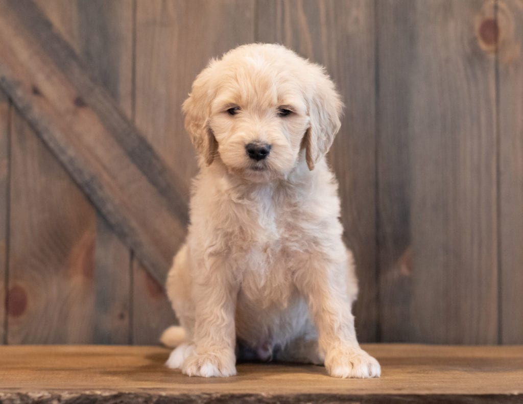 Ted is an F1 Goldendoodle that should have  and is currently living in Iowa