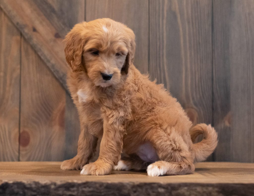 """Tenny is an F1 Goldendoodle that will be hypoallergenic. Read more about what a dog being hypoallergenic means on our latest blog post, """"The New Breed Everyone Seems to Want"""""""