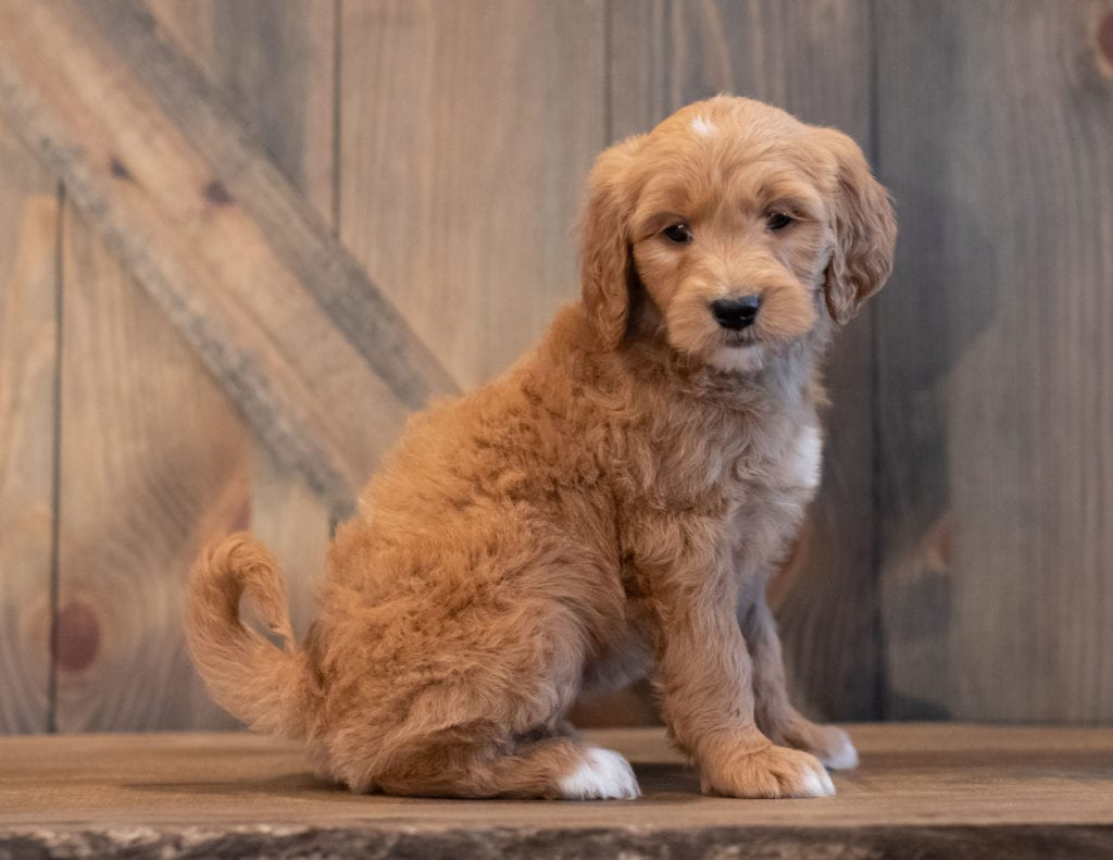 A picture of a Tenny, one of our Mini Goldendoodles puppies that went to their home in Iowa