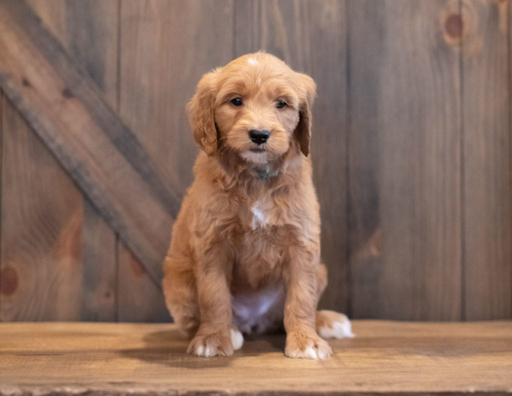 Tenny came from Sassy and Scout's litter of F1 Goldendoodles