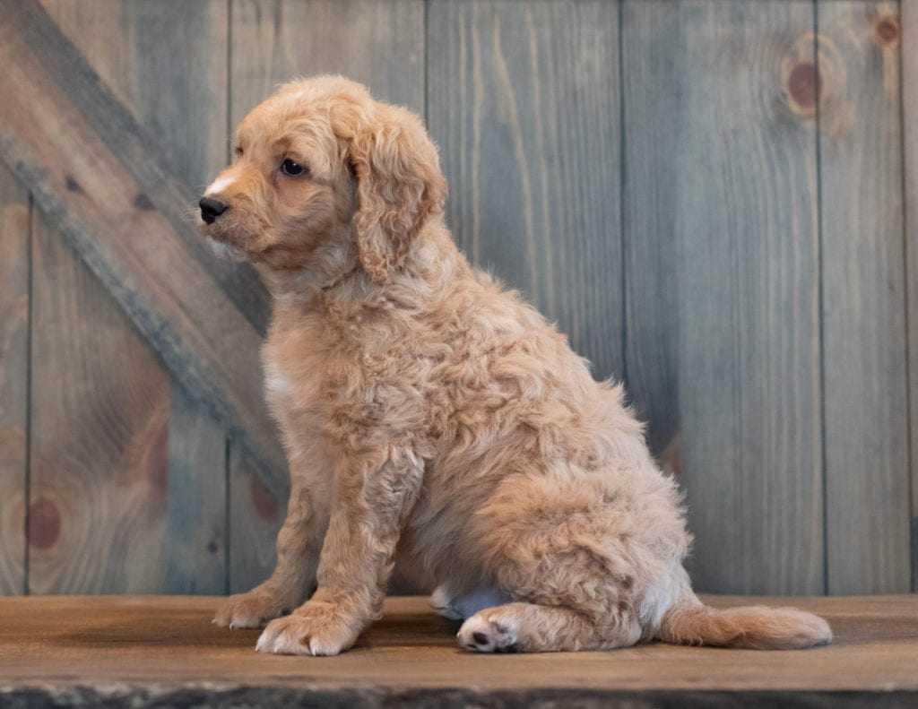 "Tripp is an F1 Goldendoodle that will be hypoallergenic. Read more about what a dog being hypoallergenic means on our latest blog post, ""The New Breed Everyone Seems to Want"""