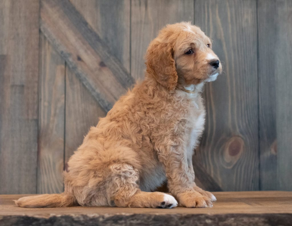 Tripp came from Sassy and Scout's litter of F1 Goldendoodles
